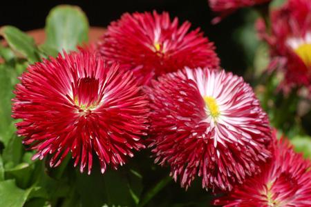 گل یاس, گل سرخ
