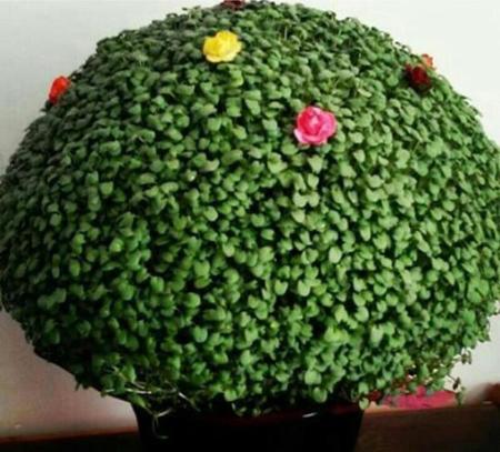 سبزه,آموزش درست كردن سبزه عيد