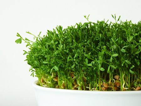 سبزه با عدس, نحوه کاشت سبزه عدس
