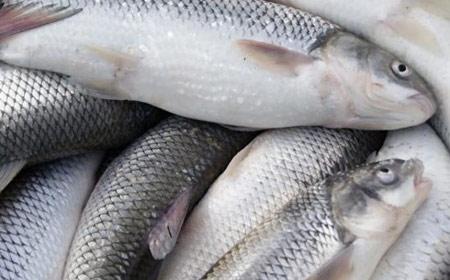 تشخیص ماهی تازه,راهنمای خرید ماهی