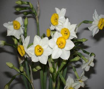 بیشتر کردن عمر گل نرگس