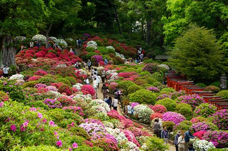 فستیوال گل های بهاری,فستیوال شکوفه های گیلاس ژاپن,فستیوال ساکورا