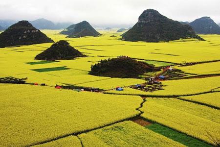 گل های زرد رنگ,دیدنی های شهر Luoping,عجایب طبیعی
