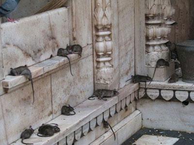 معبد,معبد کارنی ماتا,تصاویر معبد کارنی ماتا