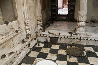 تصاویر معبد کارنی ماتا