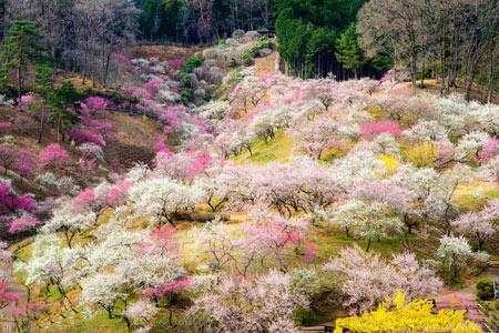 درخت گیلاس,شکوفه های گیلاس,دیدنیهای ژاپن