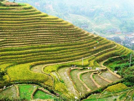 مزارع برنج,زیباترین مزارع برنج دنیا,عجیب ترین مزارع برنج