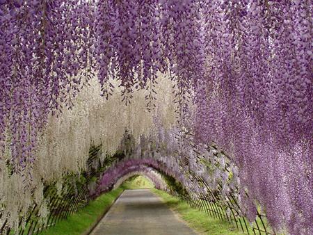 تونل گل ویستریا,باغ کاواچی فوجی, تصاویر باغ کاواچی فوجی
