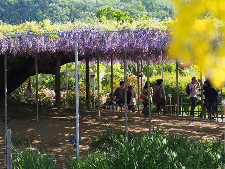 تونل گل ویستریا, تصاویر تونل گل ویستریا, باغ کاواچی فوجی