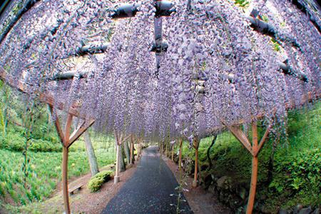 تونل گل ویستریا,باغ کاواچی فوجی, تصاویر تونل گل ویستریا
