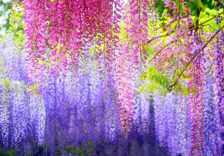 تصاویر تونل گل ویستریا,تونل گل ویستریا, باغ کاواچی فوجی