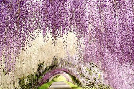 تونل گل ویستریا, دیدنی های ژاپن, باغ کاواچی فوجی