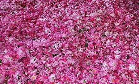 ir2566 3 - تصاویری از گلاب گیری قمصر کاشان