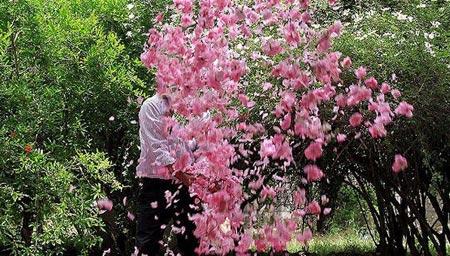 ir2566 - تصاویری از گلاب گیری قمصر کاشان