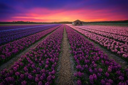 عکس گلهای کشور هلند