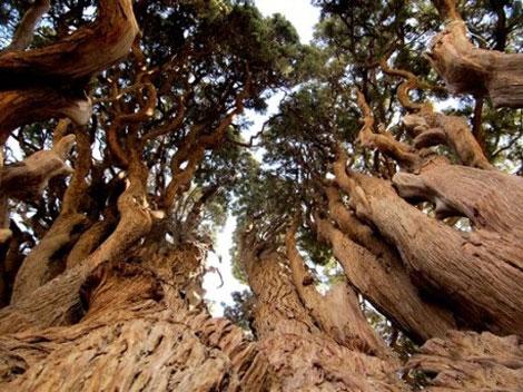 کهن ترین درخت جهان در یزد