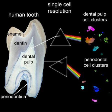 اطلس کامل سلولی دندانهای انسان،اخبار پزشکی،خبرهای پزشکی