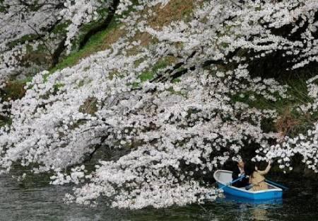 عکسهای جالب,عکسهای جذاب,شکوفه های گیلاس