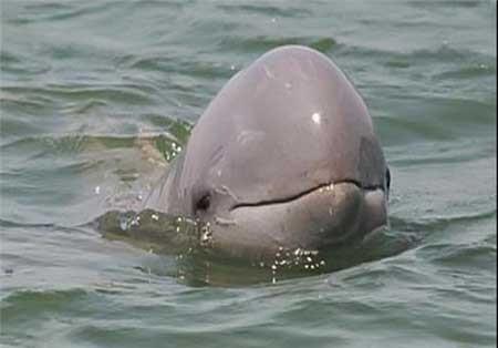 دلفینهای عجیب , دلفین ,  نهنگهای سفید
