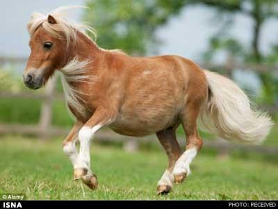کوچکترین اسب جهان , دزدیده شدن کوچکترین اسب