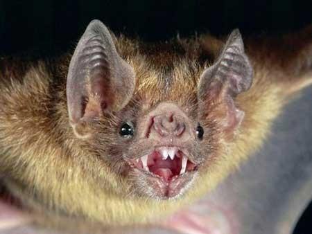 خونآشامهای واقعی ,خفاشهای خون آشام