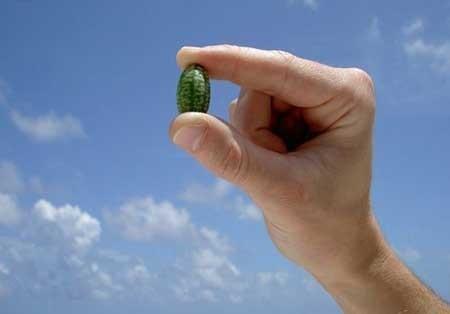اخبار ,اخبار گوناگون ,کوچکترین هندوانه جهان