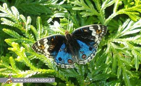 لباس غواصی و پروانه