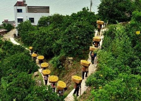 پرتقال چینی باغداران چینی