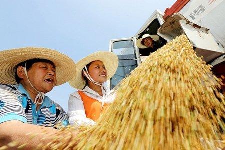 برداشت محصول در استان آنهویی، چین
