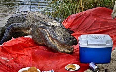 حمله یک کروکودیل در فلوریدا آمریکا به بساط یک گروه در کنار مرداب