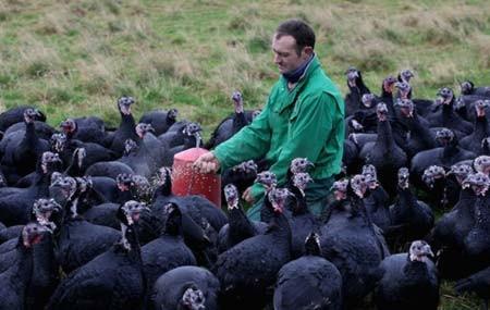 مزرعه پرورش بوقلمون در اورتون، انگلیس