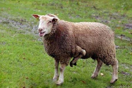 گوسفندی با 5 پا ، فرانسه