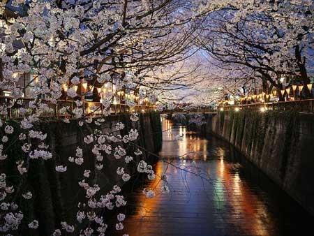 عکس نشنال جئوگرافی از زیبایی شکوفه های درختان گیلاس در محله