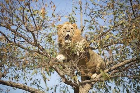 درخت نوردی نادر شیر ها ی افریقایی
