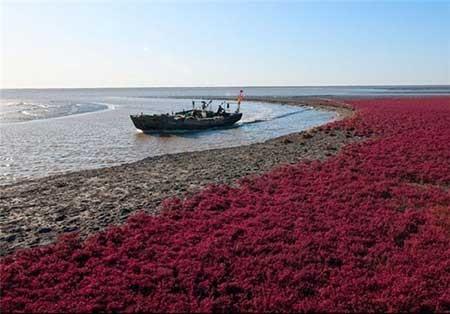 اخبار,اخبار گوناگون ,جلبکهای دریایی ساحل شور