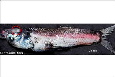 اخبار,اخبار علمی,ماهی چهار چشمی
