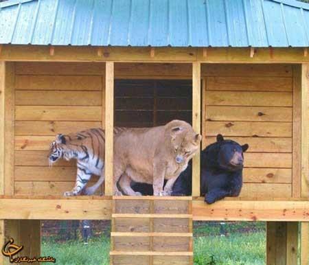 دوستی عجیب این سه حیوان وحشی!