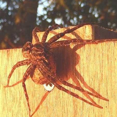 اخبار,اخبار علمی ,عنکبوتهای غول آسا