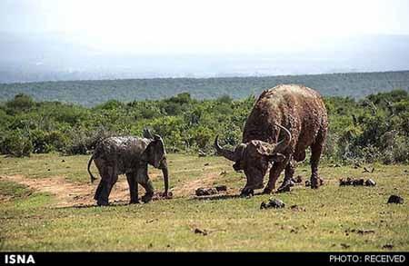 اخبار,اخبار گوناگون,بچه فیل زیادی شجاع