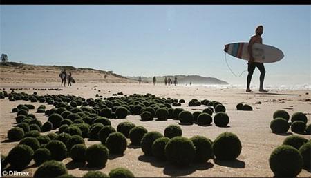 کشف جلبک دريايي تخممرغي در سواحل سيدني+تصاوير