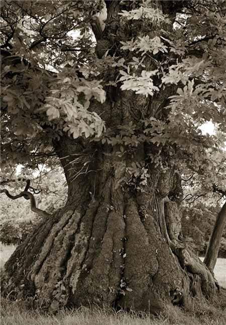 اخبار,اخبار گوناگون,قدیمیترین درختان جهان