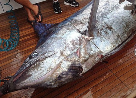 صید بزرگترین نیزه ماهی دنیا
