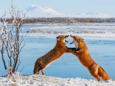 عکسهای جالب,تصاویر جالب,نزاع دو روباه