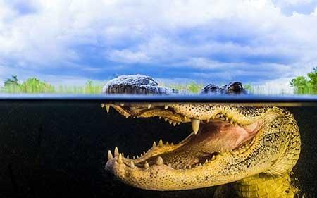 عکسهای جالب,تصاویر جالب,تمساح امریکایی