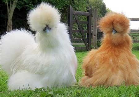 عکسهای جالب,تصاویر دیدنی,مرغهای ابریشمی چینی