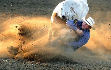 عکسهای جالب,گاوهای وحشی ,عکسهای جذاب