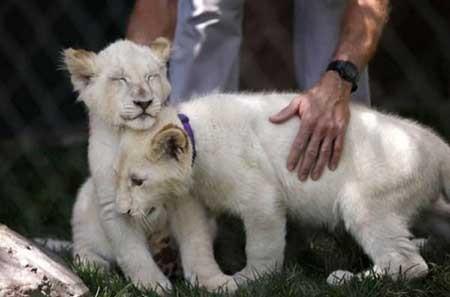 عکسهای جالب,بچه شیر سفید,تصاویر دیدنی