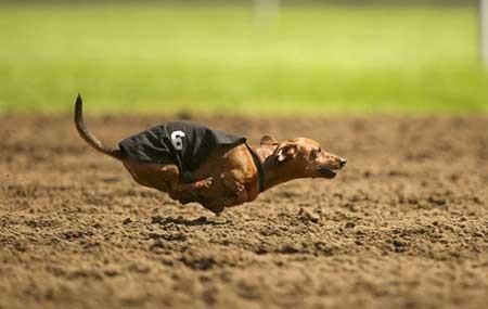 عکسهای جذاب, مسابقات دوی سگ ها ,تصاویر جالب