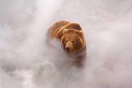 تصاویر دیدنی,خرس قهوه ای,تصاویر جالب