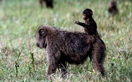تصاویر دیدنی, میمون,تصاویر جالب